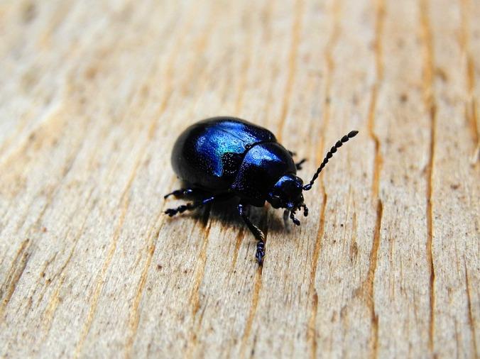 beetle-1488542_960_720